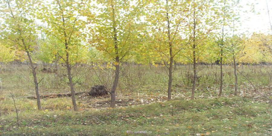 Фото-Осенние осины
